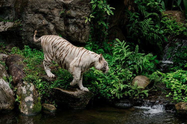 White tiger standing on rock in forest