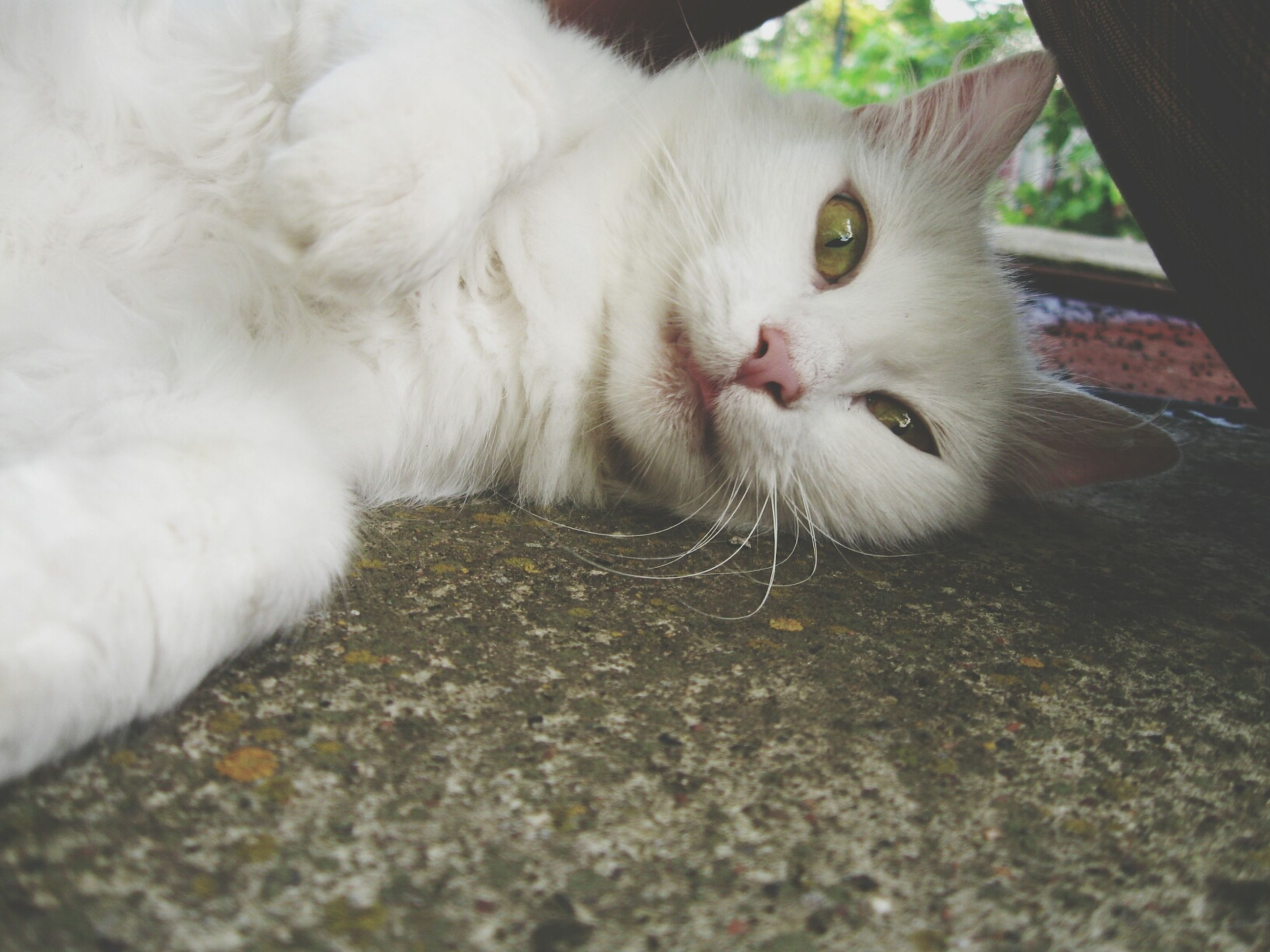 domestic cat, cat, domestic animals, feline, animal themes, pets, one animal, mammal, whisker, relaxation, close-up, lying down, looking at camera, indoors, portrait, white color, resting, selective focus, animal head, relaxing