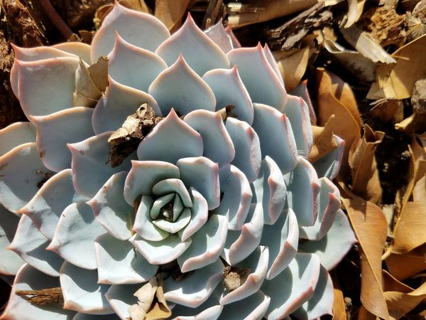 Full Frame No People Close-up Backgrounds Day Nature Outdoors Beauty In Nature Check This Out Look At This Through My Eyes Galaxyography Galaxy S7 Succulents Succulent Plants Plant Dry Leaves Fragility