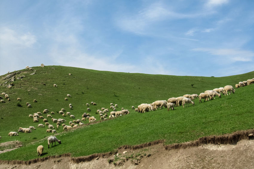 A flock of sheep on a hillside in Transylvania Animal Themes Beauty In Nature Cloud - Sky Day Field Flock Of Sheep Grass Grazing Green Color Landscape Large Group Of Animals Livestock Mammal Nature No People Outdoors Pasture Romania Scenics Sheep Sky Transylvania
