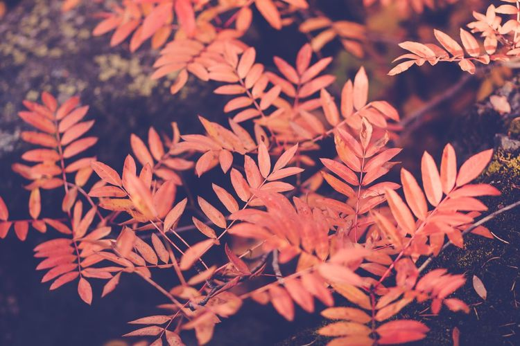Autumn foliage Orange Color Flora Idaho EyeEmNewHere Bushes Forest Fall Colors Fall Season  Botanical Landscape EyeEmNewHere Orange Plant Leaf Plant Part Growth Beauty In Nature Nature Close-up No People Outdoors Autumn Leaves Day Branch Autumn Mood