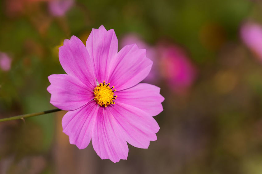 Pink-colored mexican aster - Garden cosmos aster in the soft light of the evening sun Beauty In Nature Close-up Day Flower Flower Collection Flower Head Fragility Freshness Garden Cosmos Korbblütler Macro Makro Mexican Aster No People Outdoors Pink Color Schmuckkörbchen Springtime Summer