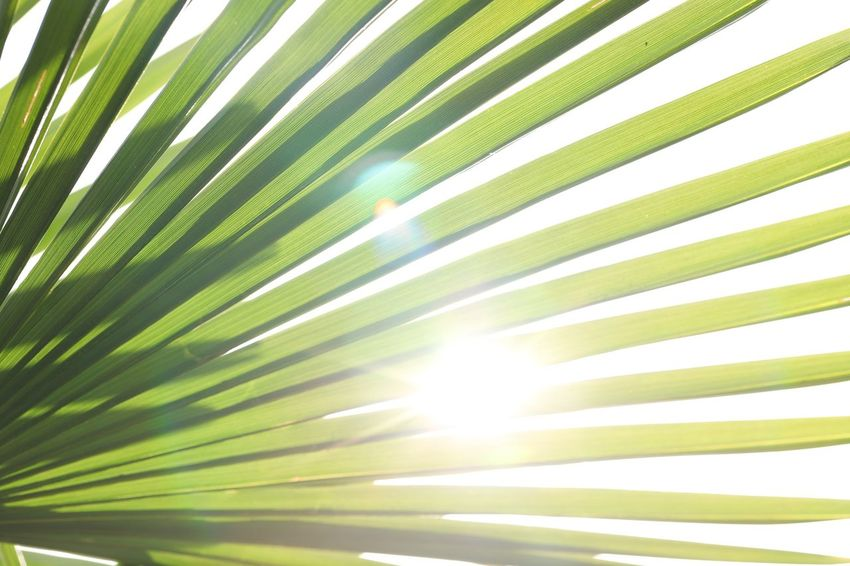 Rise and shine because you just can Leaf Sunlight Palm Tree Growth Palm Leaf Beauty In Nature Nature Plant Part Plant Tropical Climate No People Sunbeam Tree Day Outdoors Sun Back Lit Close-up Green Color