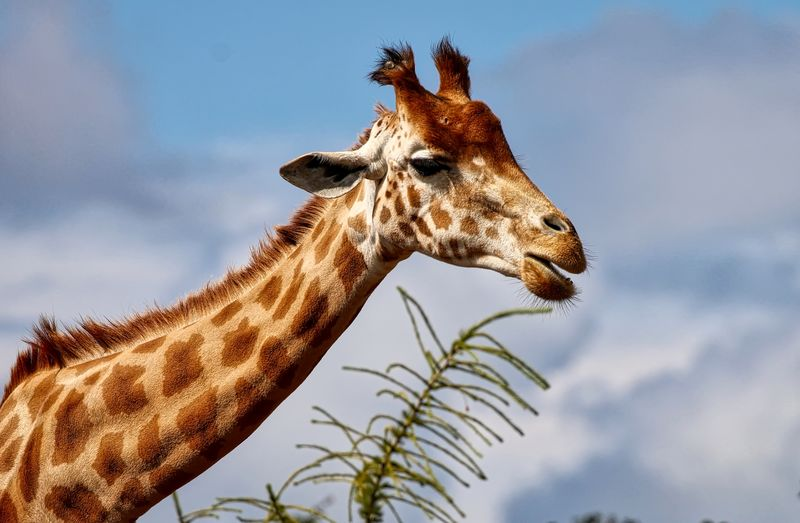 Close-Up Side View Of A Giraffe Against Sky