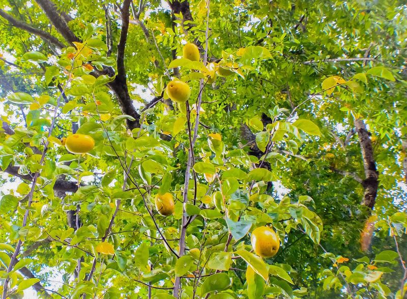 Pear Tree  Pears Fruit Tree Growth Food Healthy Eating Freshness Leaf Outdoors No People Nature Ripe Branch Low Angle View Day No People Diet Fruitporn Fruits Lover Fruit Photography Food_collection Autumn Collection Autumn Yellow Color Paint The Town Yellow