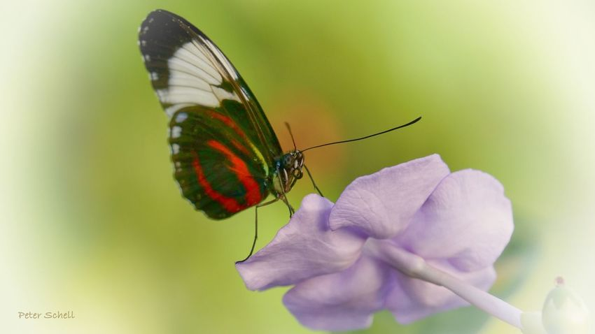 Butterfly Butterflies Butterfly ❤ Flower Flower Collection Flowerlovers Summer ☀ Pastel Romantic Watercolor