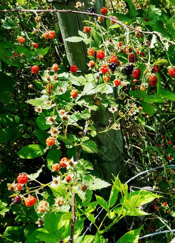 Pie Oh Pie Blackberries Taking Photos In My Garden Wildlife & Nature Walking Around Enjoying Life