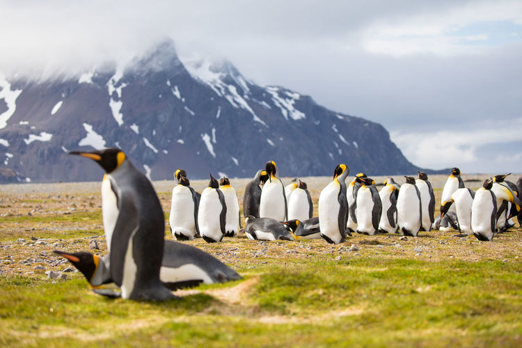 Animal Wildlife Animals In The Wild Day Full Length Group Of Animals Group Of People In A Row Land Mountain Mountain Range Nature Outdoors Penguin People Rear View Sky Snowcapped Mountain Walking