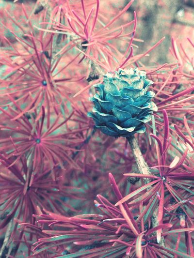Pinecone Pinetrees Pineconeart Tree Tree Pinecone Countryside Countryside Nature Photography Naturelovers Beautiful Contrst Colors Pink Editing Blue Trees
