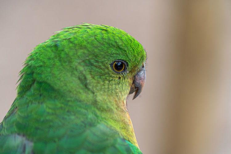 Close-up of a parrots head