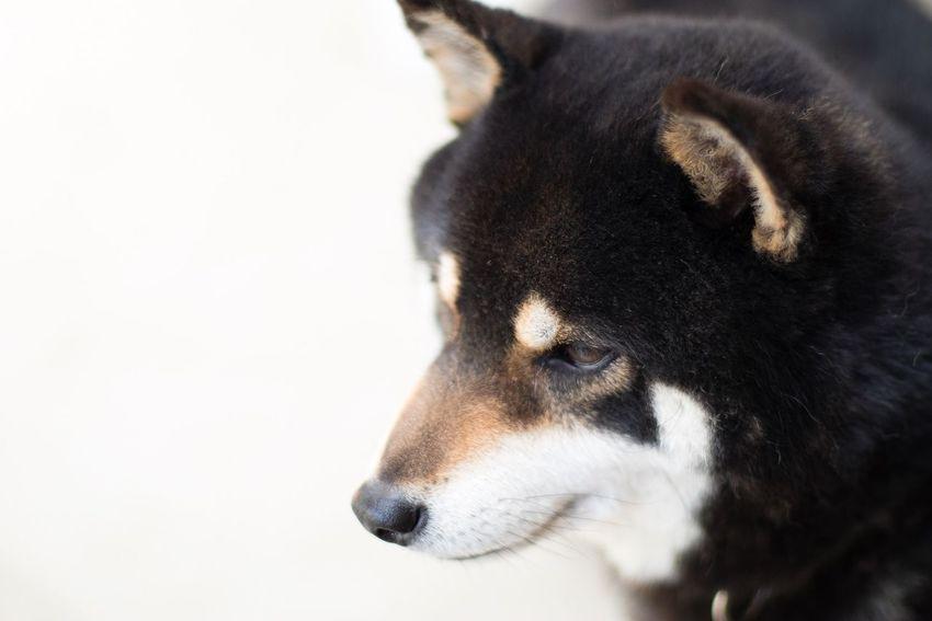 Canonphotography Shiba Inu Shiba Inu LOVE Dogs in SAKATA Pet Portraits