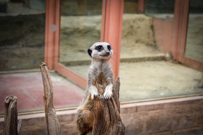 Tropical World Leeds Leeds, UK Tropical Tropical Animal Meerkat Mammal Animal Themes Zoo One Animal No People Focus On Foreground Day Animal Wildlife Animals In The Wild Outdoors Close-up Roundhaypark Tropicalworld Roundhay Park Dslrphotography Nikon DSLR Compare The Meerkat Poser