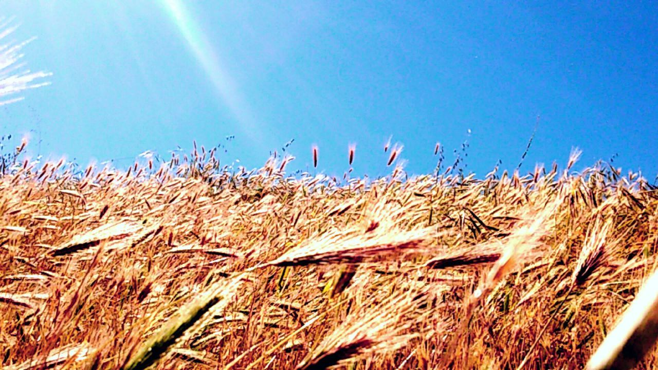 agriculture, field, growth, cereal plant, nature, day, wheat, no people, grass, outdoors, landscape, rural scene, beauty in nature, sky, close-up