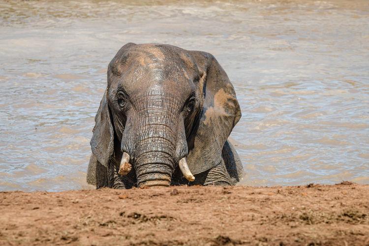 Portrait of elephant drinking water