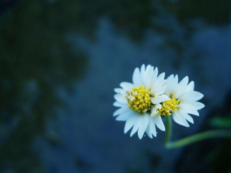The twin flower Beauty In Nature Flowers Flower Head Blooms Nature Gardenflowers Garden