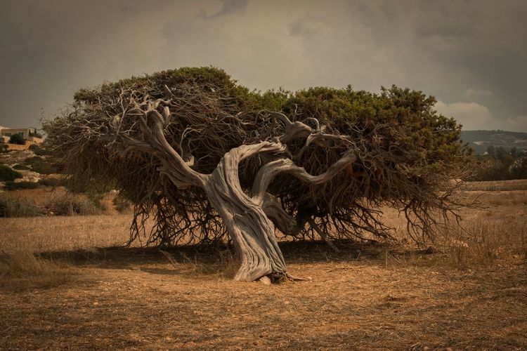 Cyprus Paphos Pegeia Beutiful Nature Lonely Tree Wild Nature Photography Autumn 2015