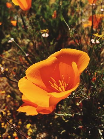 Poppies! Ventured out to the Antelopevalley EyeEm Best Shots Wildflowers EyeEm Nature Lover IPhoneography Mobilephotography