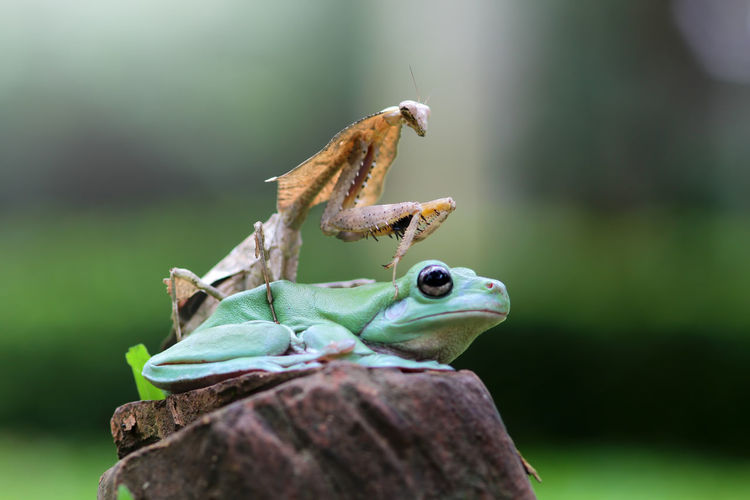 tree frog and mantis Animal Themes Animal Animal Wildlife Animals In The Wild Vertebrate Close-up Focus On Foreground No People One Animal Nature Day Reptile Frog Green Color Amphibian Selective Focus Plant Outdoors Lizard