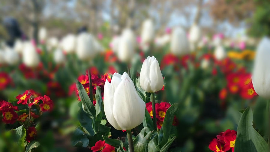 Close-up of tulips blooming at st james park
