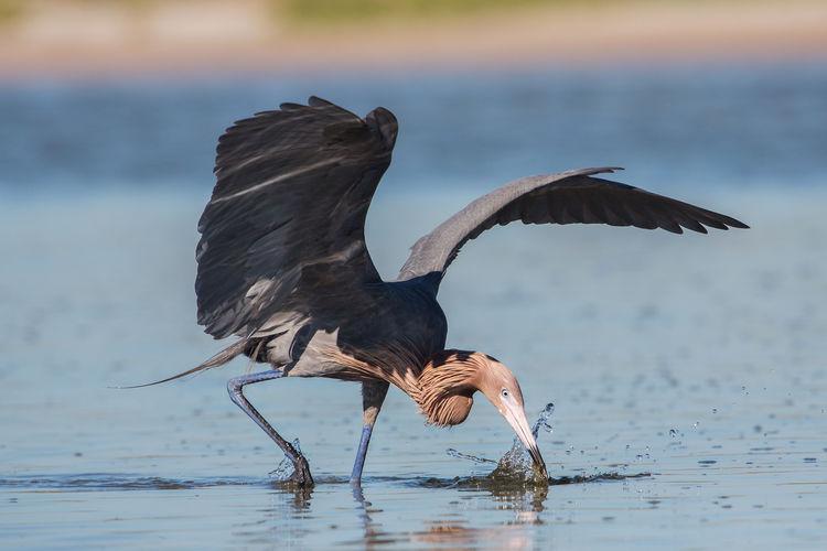 Gray heron foraging in lake