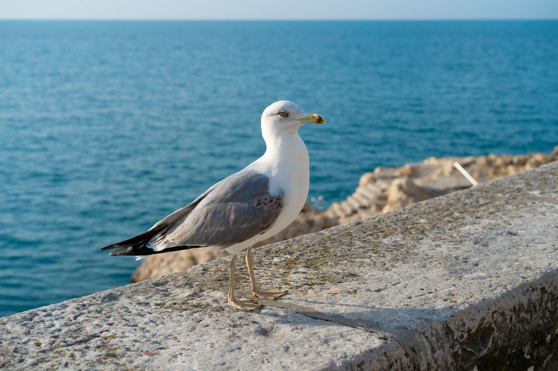Mighty seagull Sea Animals In The Wild Animal Animal Themes Bird Animal Wildlife Vertebrate One Animal Perching Water Rock - Object No People Seagull Rock Horizon Over Water Solid Nature Day Sky Summer Brave Wildlife & Nature