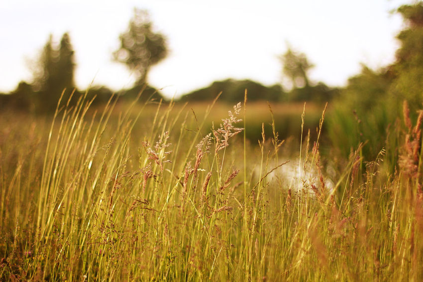 Beauty In Nature Cereal Plant Close-up Day Field Grass Growth Landscape Nature No People Outdoors Tranquility Wheat