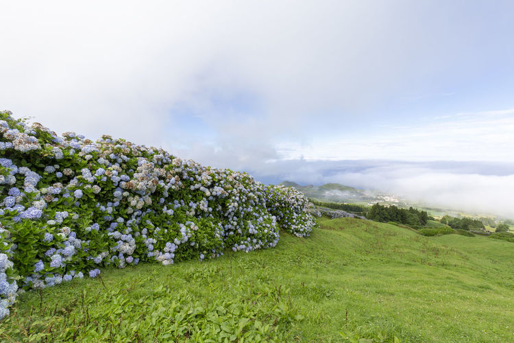 Hydrangeas forming a wall and the town of Varzea covered in morning fog on the island Sao Miguel. Sao Miguel Azores Açores Sete Cidades Hike Trek Trail Landscape Caldera Crater Lagoa Azul Verde Seca Alferes Flowers Hydrangea Ginetes Varzea Clouds Fog Travel Tourism Destination