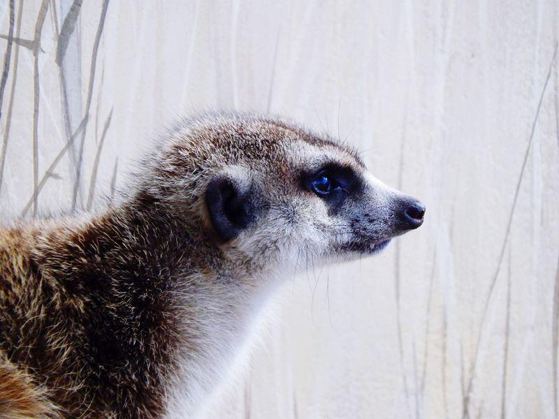 Meerkat Africa Animals Africa Africa Wildlife Meerkat, Cute Animals, Furry, Animal Close Up, Yellow, Zoo, Zoo Pics, Meerkat Pics EyeEmNewHere