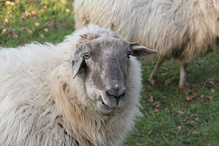 Taking Photos Canon EOS 1300D Fresh On Eyeem  Taking Photos Beauty In Nature Schapen Sheep🐑 Sheep Walking Around Taking Pictures Outdoors Relaxing Animal Themes