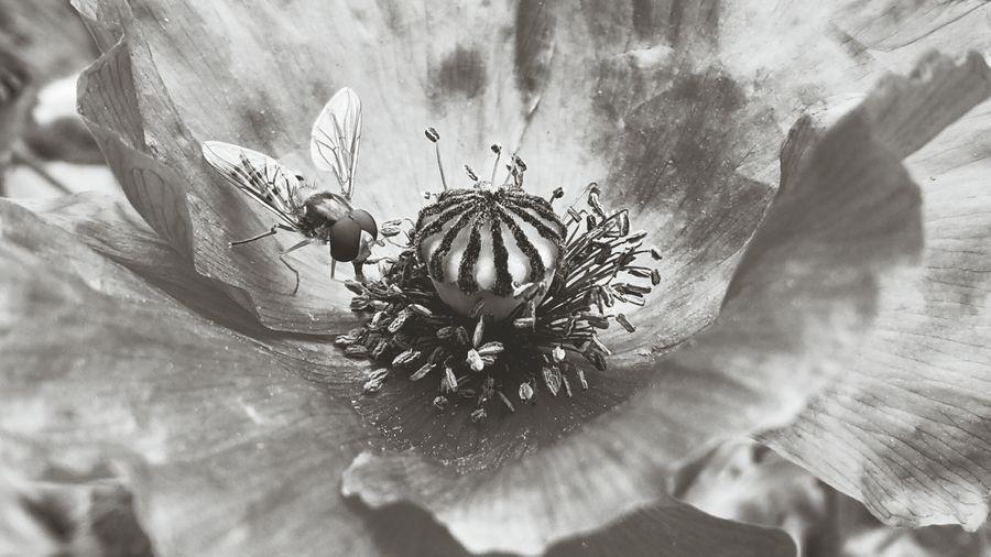 Bee Blackandwhite Black&white Mohn PoppySeed