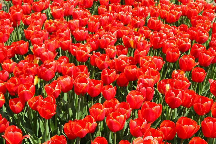 Full frame shot of red tulips