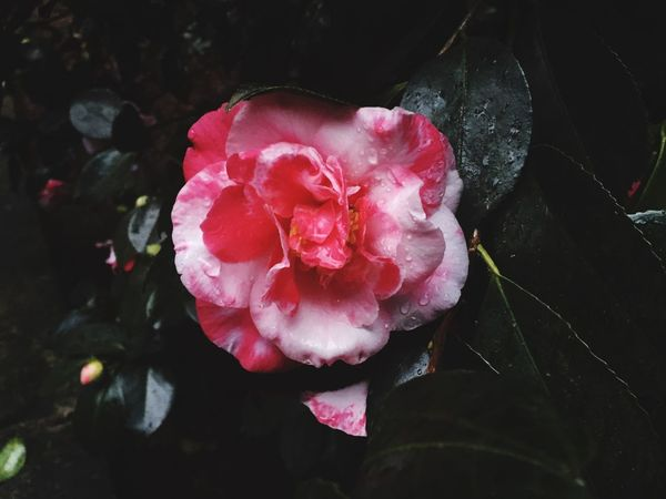 Freshness Petal Flower Beauty In Nature Pink Color Rosé Close-up No People Nature Plant Rose - Flower Growth Red