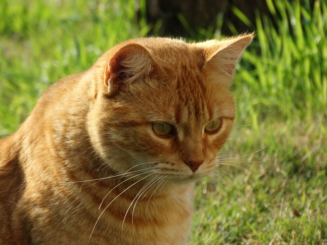 One Animal Animal Themes Mammal Close-up No People Feline Day Domestic Cat Nature Grass Outdoors Portrait Leopard
