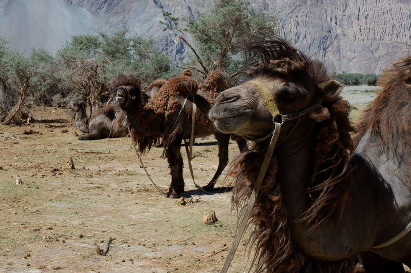 Bactrian camels standing on land