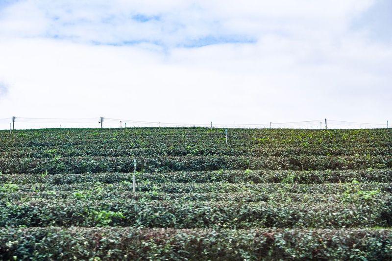 Tea farm Tea