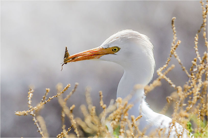 Animal Themes Beauty In Nature Bird Cattle Egret Nature One Animal Outdoors Zoology