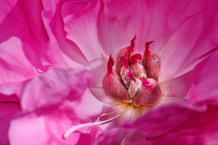 Paeonienblüte innen Paeonia Lactiflora Pink Color Flower Flowering Plant Plant Freshness Beauty In Nature Petal Close-up Fragility Vulnerability  Flower Head Growth Nature Inflorescence Pollen No People Backgrounds Full Frame Macro Outdoors