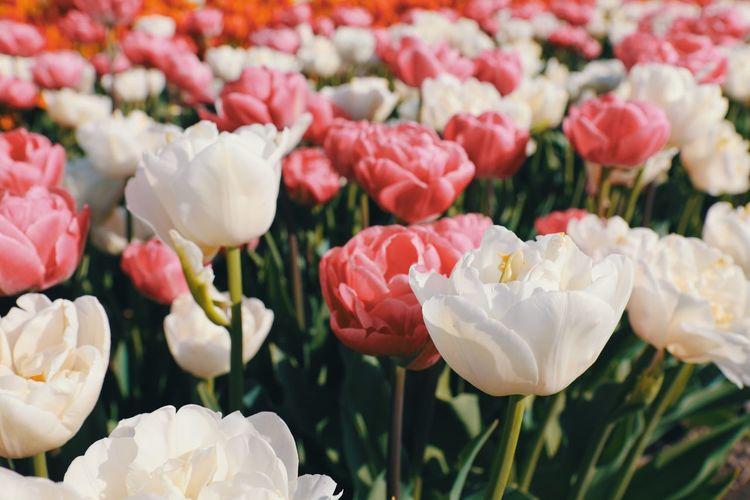 Tulip Tulip