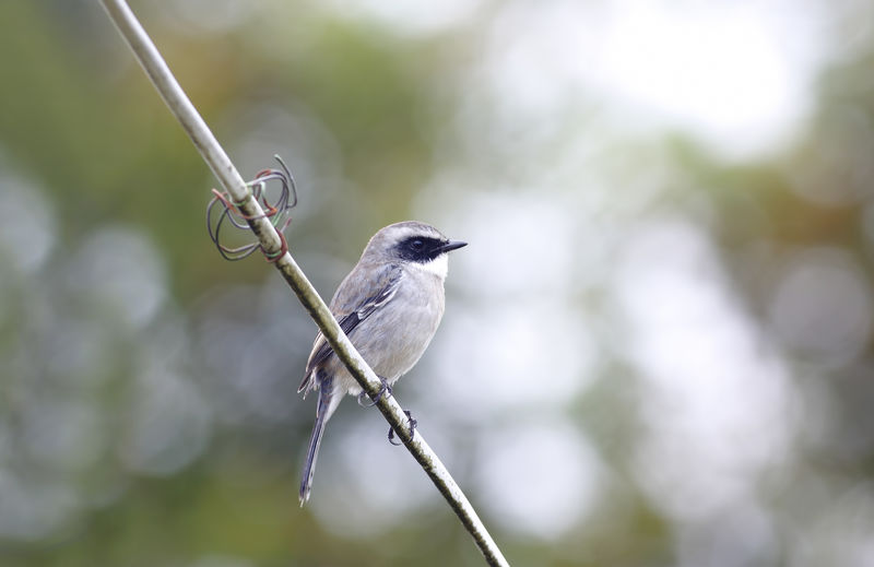 Animal Themes Bird Animal Vertebrate Animals In The Wild One Animal Animal Wildlife Focus On Foreground Perching Day No People Close-up Plant Nature Outdoors Twig Tree Songbird  Beauty In Nature Zoology