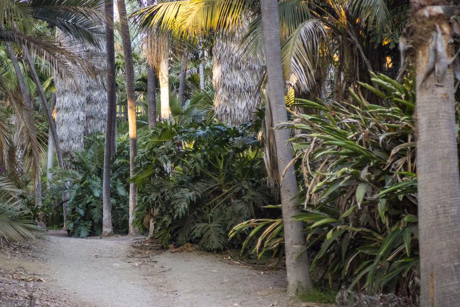 Balboa Park Palm Grove Palm Trees Pathway Sunset Trail Tranquil Scene Tropical