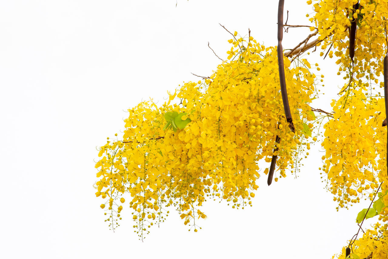 LOW ANGLE VIEW OF YELLOW FLOWERING TREE AGAINST CLEAR SKY