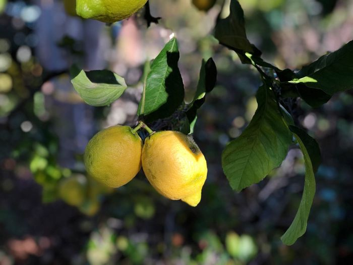 Lemons 🍋 on a lemon tree in the sunlight Lemon Fruit Growth Healthy Eating Plant Leaf Plant Part Tree Food And Drink Food Focus On Foreground Freshness Close-up Nature Citrus Fruit Branch No People Day Green Color Fruit Tree Yellow