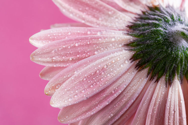 Close-up of wet pink flower