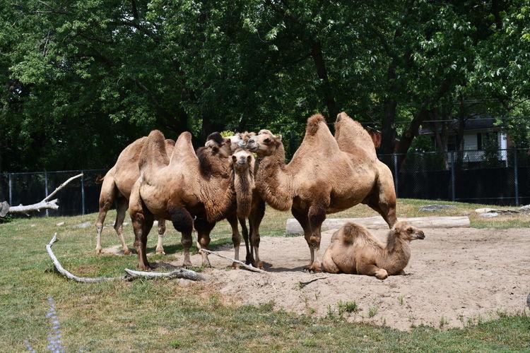 Posing camels