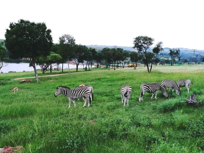Large Group Of Animals Animal Themes Tree Group Of Animals Zebra Outdoors Green Color Beauty In Nature Animals In The Wild Nature Grass