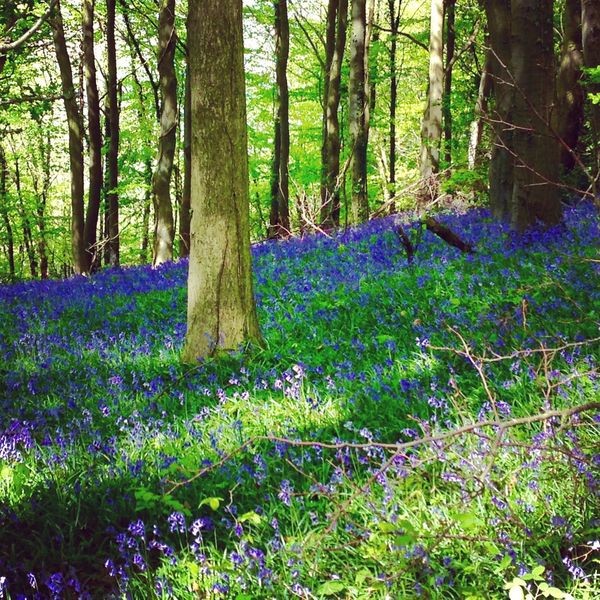 Bluebell woods Cotswold Way Gloucestershire Spring Flowers Bluebells A Walk In The Woods Carpet Of Flowers