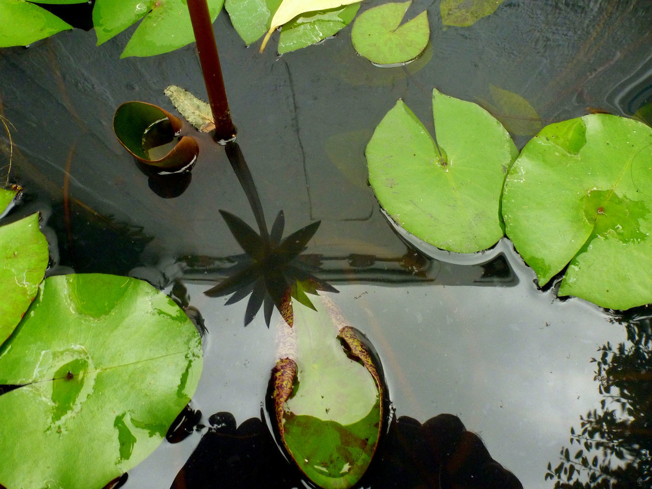HIGH ANGLE VIEW OF LEAVES FLOATING IN POND