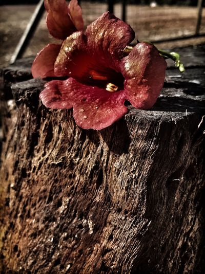 Flower Tree Dramatic Close-up Red Beauty In Nature No People Outdoors Flower Head Wood - Material Day çiçek Kutuk The Week On EyeEm