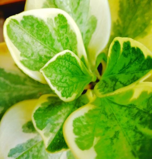 Green Color Leaf Freshness Food And Drink Food Healthy Eating Mint Leaf - Culinary Plant Vegetable Fruit No People Healthy Lifestyle Close-up Nature Day Mojito Outdoors