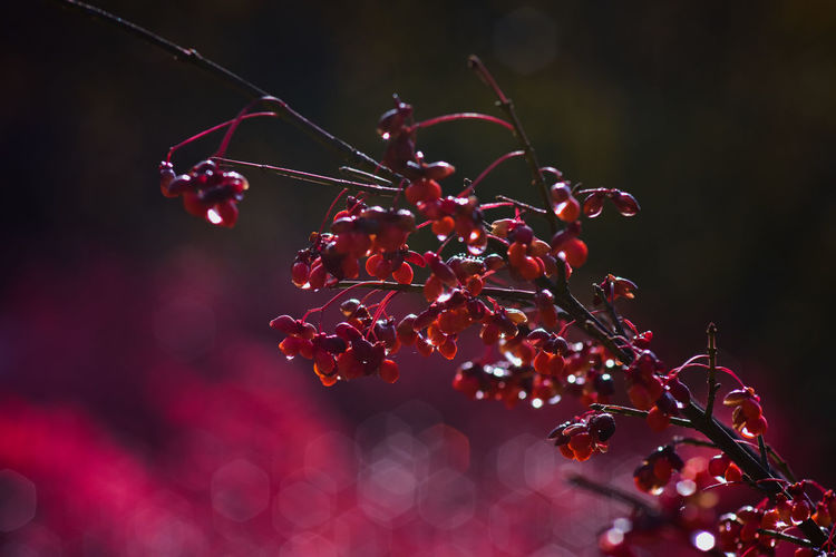 Close-up of red berries growing